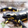 Deux noms languedociens de la salamandre : la blando (Aveyron, Hérault) et la talabreno (Gard)