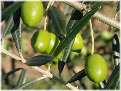 Branches d'olivier (détail)