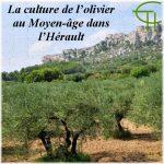 La culture de l'olivier au Moyen-âge dans l'Hérault