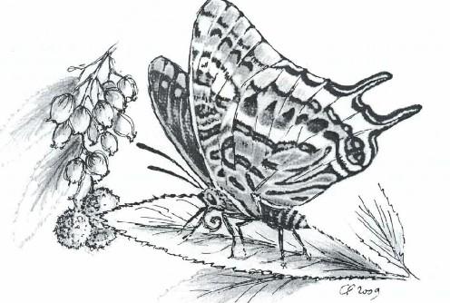 Groupe de Recherches et d'Etudes du Clermontais, 158-160. Jason (Pacha) Charantes jasius à deux queues